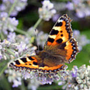 10088 Small Tortoiseshell Butterfly Poster