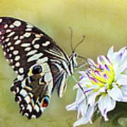 Butterfly Food At Dahlia Flower Poster