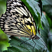 Butterfly - Green Leaf Poster
