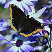 Butterfly In Blue Poster