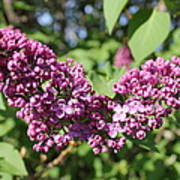Butterfly Lilac Poster