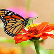 Butterfly Lunch Poster by Lorna Rogers Photography