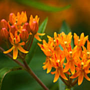 Butterfly Milkweed Poster