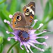 Butterfly On African Daisy Poster