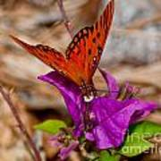 Butterfly On Bouganvilla Poster