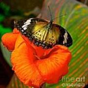 Butterfly On Canna Flower Poster