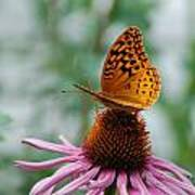 Butterfly On Cornflower Poster
