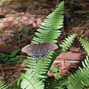 Butterfly On Fern Poster