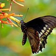 Butterfly On Firebush Poster