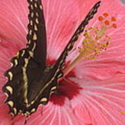 Butterfly On Hibiscus Poster