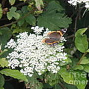 Butterfly On Lace Poster