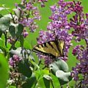 Butterfly On Lilac Poster