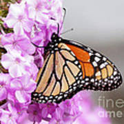 Butterfly On Phlox Flowers Poster
