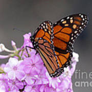 Butterfly On Phlox Poster