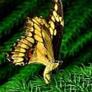 Butterfly On Pine Poster