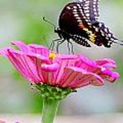 Butterfly On Pink Flower Poster