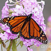 Butterfly On Pink Phlox Poster