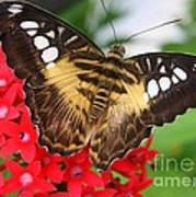 Butterfly On Red Flower Poster