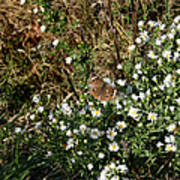 Butterfly On White Flowers Poster