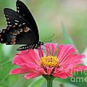 Butterfly On Zinnia Poster