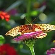 Fritillary Butterfly On Zinnia Poster