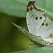 Butterfly Ready For Take Off Poster