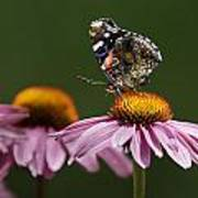 Butterfly Red Admiral On Echinacea Poster