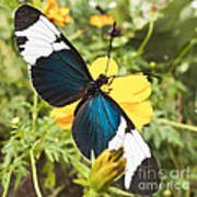 Butterfly Sara Longwing Poster