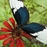 Butterfly Sara Longwing II Poster