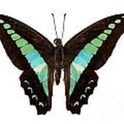 Butterfly Species Graphium Sarpedon Poster