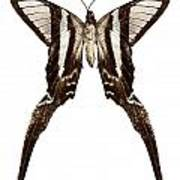 Butterfly Species Lamproptera Curius  Poster