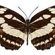 Butterfly Species Neptis Hylas  Poster