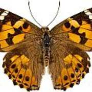 Butterfly Species Vanessa Cardui  Poster
