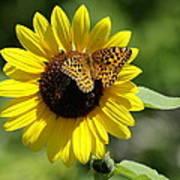 Butterfly Sunflower Poster