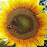 Butterfly Sunflower Poster