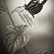 Butterfly Warm Black And White Poster