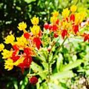 Butterfly Weed 2 Poster