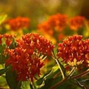 Butterfly Weed In The Sunset Poster