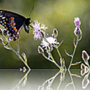 Butterfly With Reflection Poster