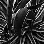 Bw Variegated Agave Poster