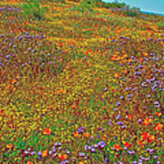 Ca Poppies And Goldfields And Lacy Phacelia In  Antelope Valley Ca Poppy Reserve-california  Poster