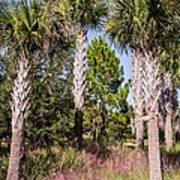 Cabbage Palm Poster