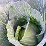 Cabbage Still Life Poster
