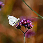 Cabbage White Butterfly In Fall Poster