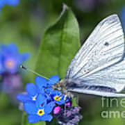 Cabbage White Butterfly On Forget-me-not Poster