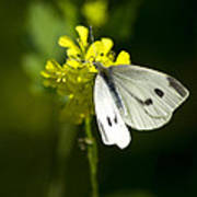 Cabbage White Butterfly On Yellow Flower Poster