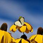 Cabbage White Butterfly Poster