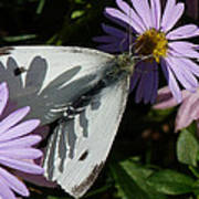 Cabbage White In Shadow Poster