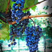 Cabernet Sauvignon Grapes Poster by Robert Bales