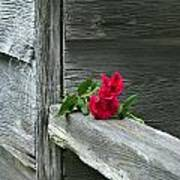 Cabin Rose Poster